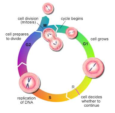 Explain Penis Growth by cell division
